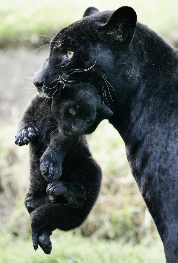 Настоящая чёрная пантера